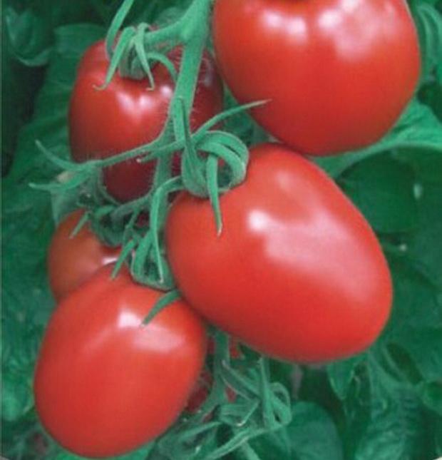 Сорт томата: Рановик