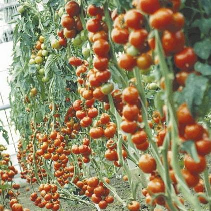 Сорт томата: Рапсоди   f1