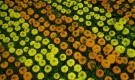 Рассада цветочных растений