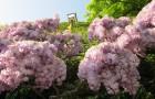 Растения для японского сада: глициния обильноцветущая