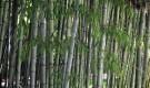 Растения для японского сада: Черный бамбук