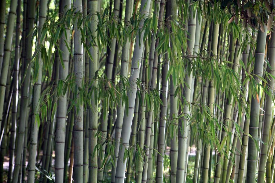 Растения для японского сада: листоколосник черный (Черный бамбук)