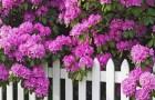 Растения для японского сада: рододендрон