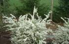 Растения для японского сада: спирея Тунберга