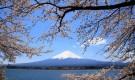 Растения для японского сада: вишня ямасакура