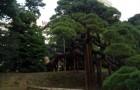 Растения для японского сада: японская черная сосна