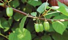 Растения для живой изгороди: актинидия