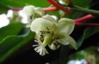 Растения для живой изгороди: актинидия коломикта, «амурский крыжовник»
