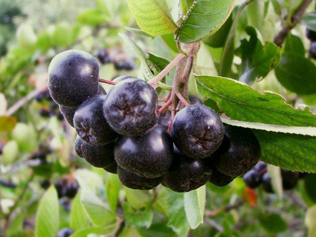 Растения для живой изгороди: арония черноплодная