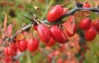 Растения для живой изгороди: барбарис