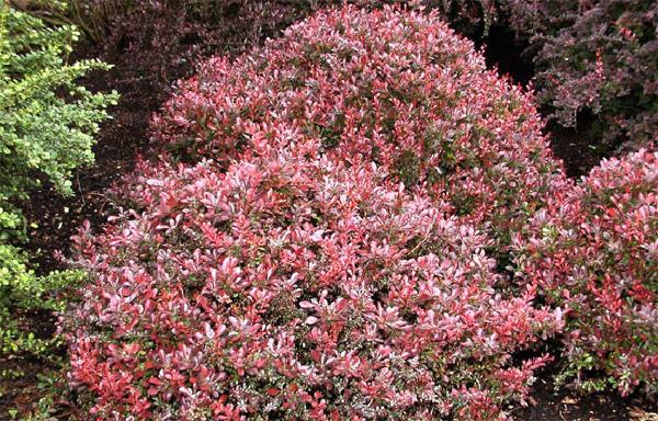 Растения для живой изгороди: барбарис Тунберга