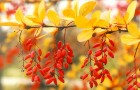 Растения для живой изгороди: барбарис обыкновенный