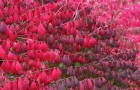 Растения для живой изгороди: бересклет европейский