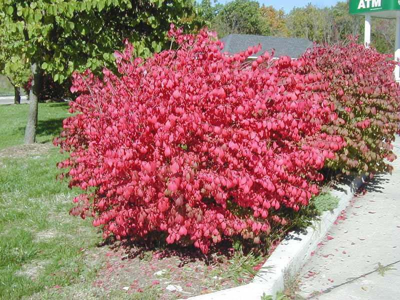 Растения для живой изгороди: бересклет