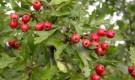 Растения для живой изгороди: боярышник колючий, обыкновенный