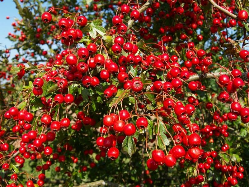Растения для живой изгороди: боярышник кроваво-красный, сибирский