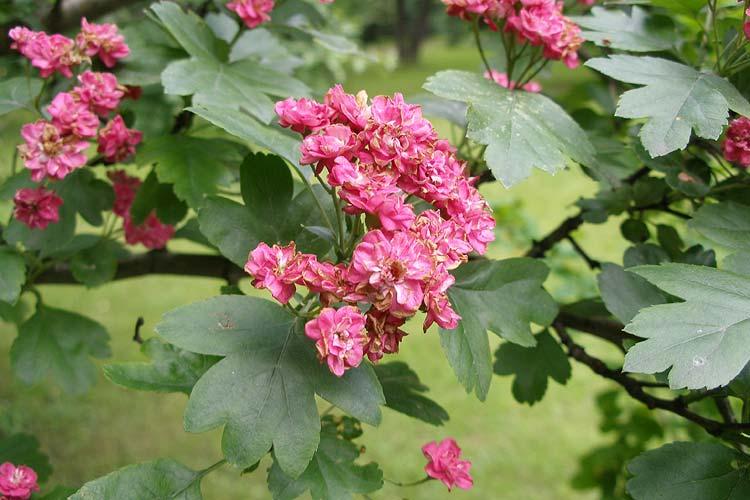 Растения для живой изгороди: боярышник однопестичный