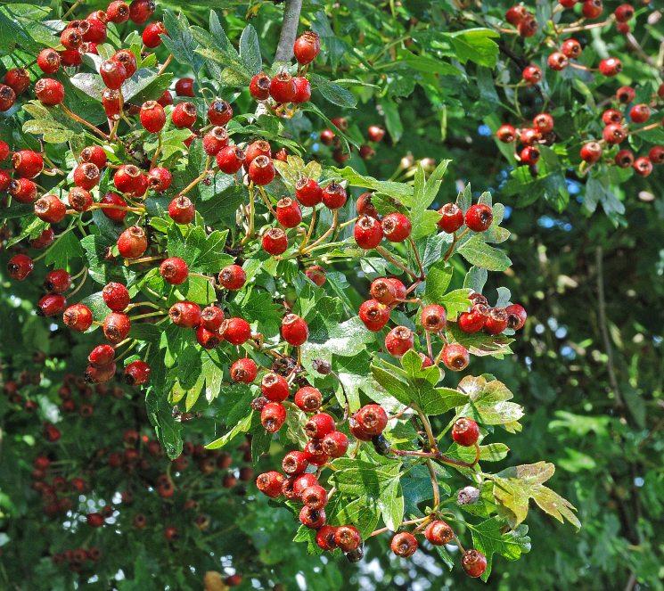 Растения для живой изгороди: боярышник сливолистный