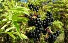 Растения для живой изгороди: бузина