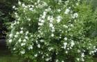Растения для живой изгороди: чубушник Лемуана