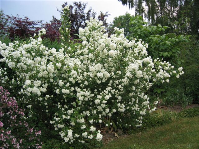 Растения для живой изгороди: чубушник венечный