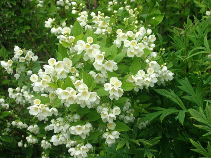 Растения для живой изгороди: чубушник
