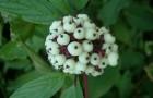 Растения для живой изгороди: дерен белый, сибирский