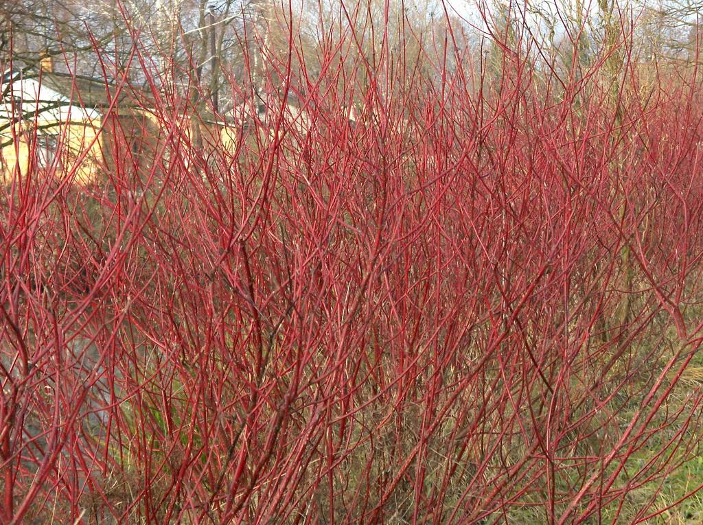 Растения для живой изгороди: дерен кроваво-красный, свидина