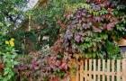 Растения для живой изгороди: девичий виноград