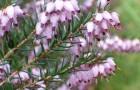 Растения для живой изгороди: эрика травяная, румяная