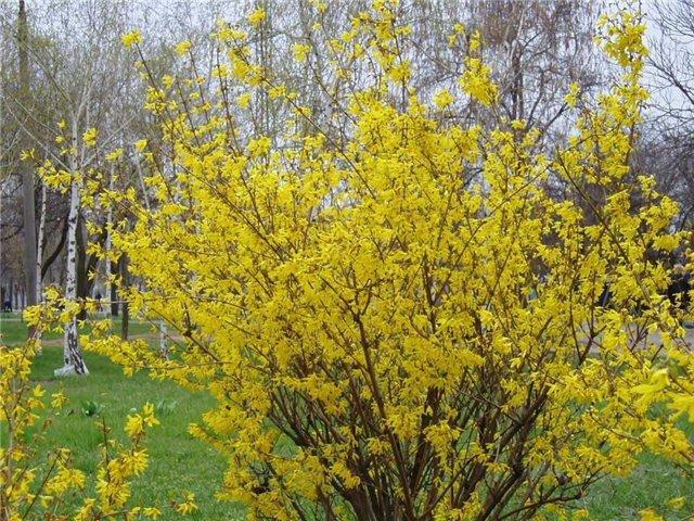 Растения для живой изгороди: форзиция