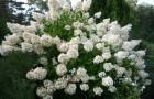 Растения для живой изгороди: гортензия метельчатая