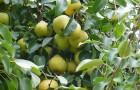 Растения для живой изгороди: груша