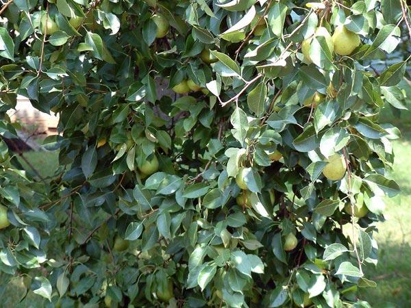 Растения для живой изгороди: груша обыкновенная, лесная
