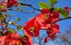 Растения для живой изгороди: хеномелес