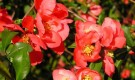 Растения для живой изгороди: хеномелес японский