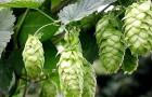Растения для живой изгороди: хмель обыкновенный, пивной