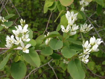 Растения для живой изгороди: ирга обильноцветущая