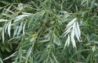Растения для живой изгороди: ива