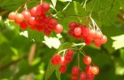 Растения для живой изгороди: калина