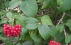 Растения для живой изгороди: калина гордовина, цельнолистная