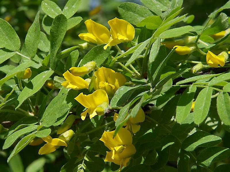Растения для живой изгороди: карагана древовидная, желтая акация