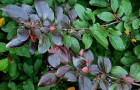 Растения для живой изгороди: кизильник блестящий