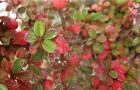 Растения для живой изгороди: кизильник многоцветковый