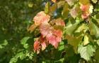 Растения для живой изгороди: клен татарский, неклен, черноклен