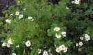 Растения для живой изгороди: лапчатка кустарниковая, курильский чай, пятилисточник