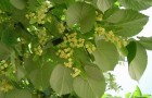 Растения для живой изгороди: липа мелколистная, сердцевидная