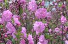 Растения для живой изгороди: луизеания трехлопастная, миндаль трехлопастный