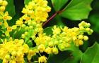 Растения для живой изгороди: магония падуболистная