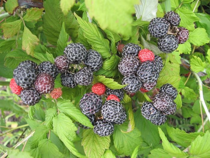 Растения для живой изгороди: малина ежевикообразная, черная малина